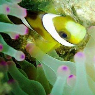 粉紅色海葵中的小丑魚